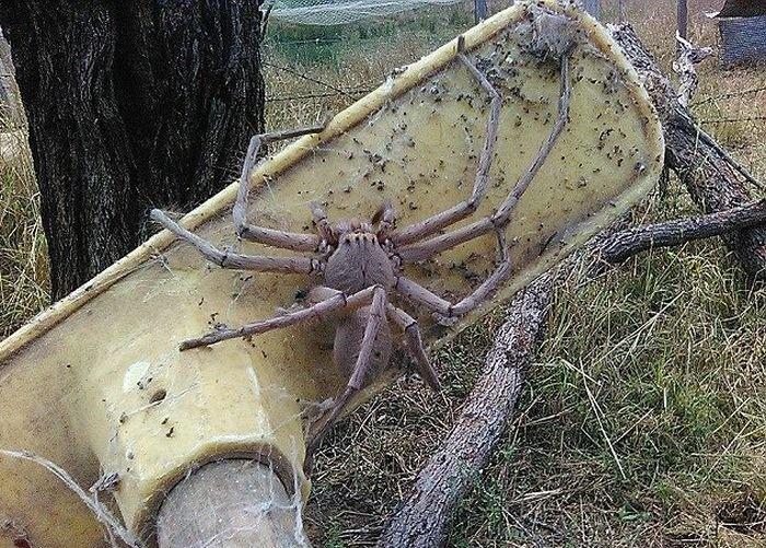 Самый старый паук вмире скончался вАвстралии