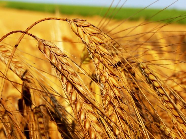 Тюменские аграрии вышли влидеры посбору зерна