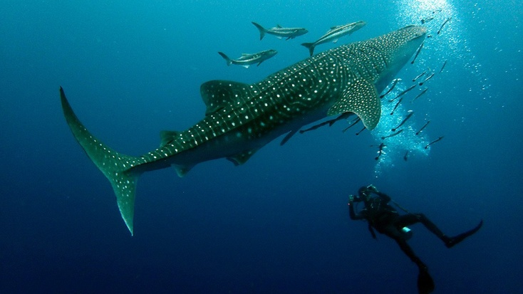 Дайвер едва нестал пищей крупнейшей вмире акулы