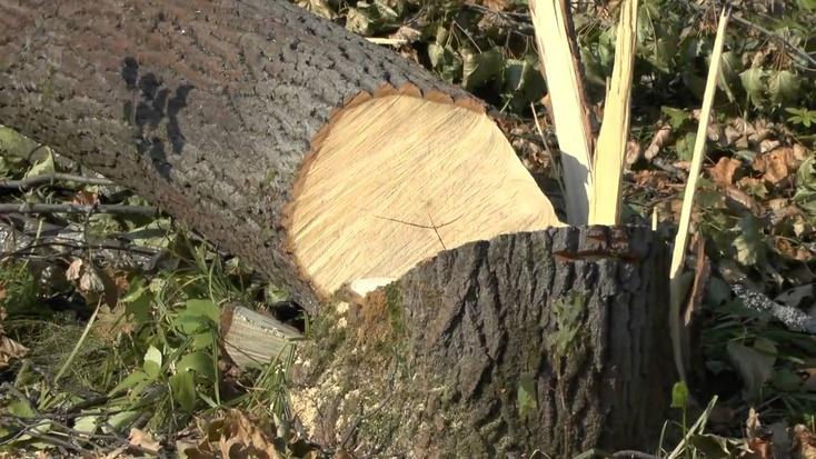 ВХМАО менеджер строительной компании нелегально срубил деревьев на11 млн руб.
