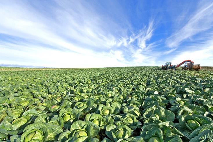 уборка урожая белокочанной капусты