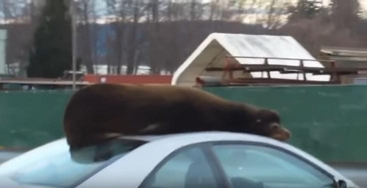 ВСША морской лев влез накрышу автомобиля