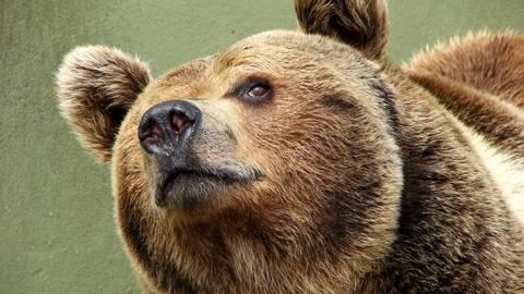 Проживавшего втюменском ресторане медведя перевозят вмосковский приют